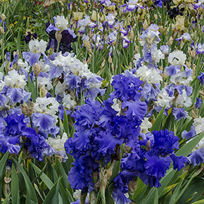 The Works Bearded Iris