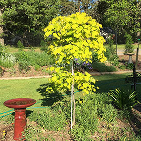 Golden Falls™ Redbud