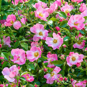 Pink Snowflakes™ Shrub Rose