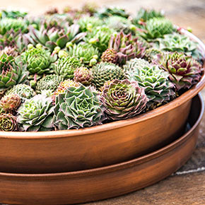 Hens & Chicks with Free Copper Planter