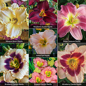 Summer of Color Daylily Collection