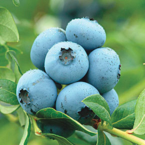 Blueberry Northland