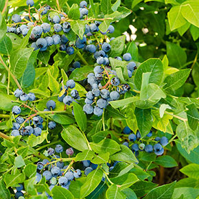 Northland Semi-Dwarf Blueberry