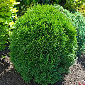 Little Giant Jumbo Hedge