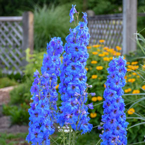 Million Dollar Blue Delphinium