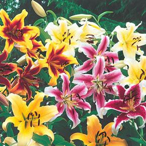 OT Lily Hybridizers Medley
