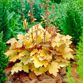 Amber Waves Coral Bells