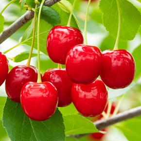 Wowza!™ Dwarf Cherry