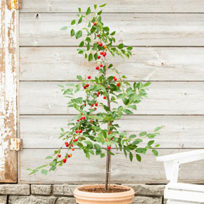 Wowza™ Dwarf Cherry