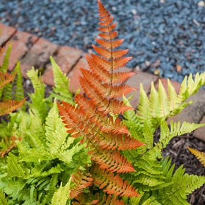 Autumn Brilliance Fern