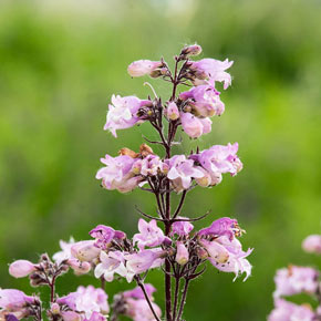 Blackbeard Penstemon