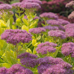 Award Winning Sedum Brilliant