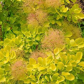 Golden Spirit Smoke Tree
