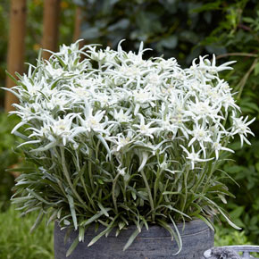 Blossom of the Snow Edelweiss