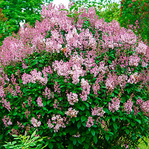 Minuet Lilac Hedge