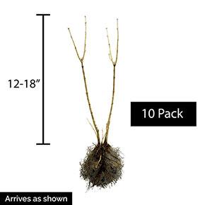 Autumn Jazz™ Viburnum Hedge