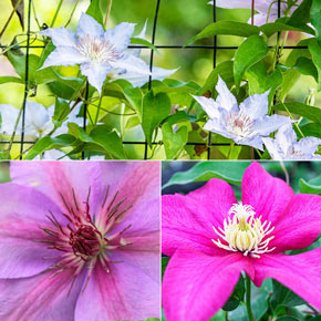 Successful Container Clematis Trio