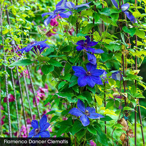 Superior Sepals Clematis Collection