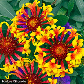 Summer Trumpets Gaillardia Collection