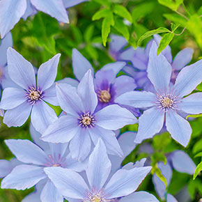 Clematis Sugar Sweet™ Blue