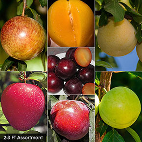 Plum Fruit Tree Assortments