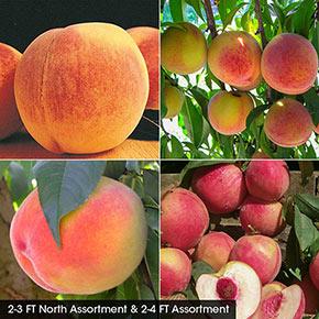 Peach Fruit Tree Assortments