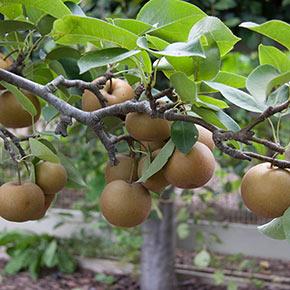 Pear Chojuro Semi-Dwarf