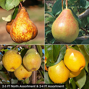 Pear Fruit Tree Assortments