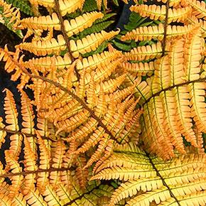 Jurassic Gold Fern