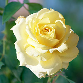 Chantilly Cream™ Hybrid Tea Rose