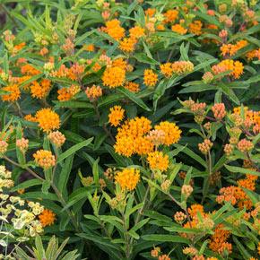Orange Butterfly Plant