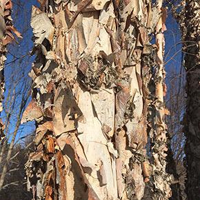 Northern Tribute River Birch Tree