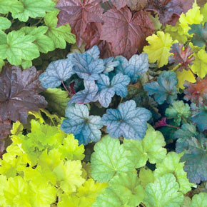 Mixed Coral Bells