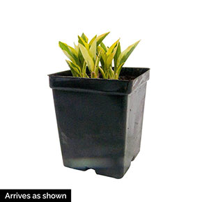 Buy Empress Wu Giant Hosta At Spring Hill Nursery