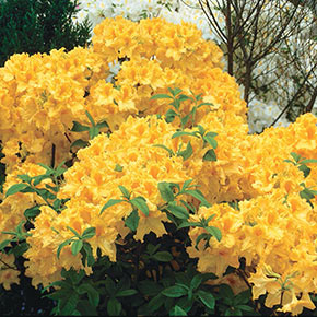 Golden Lights Deciduous Azalea