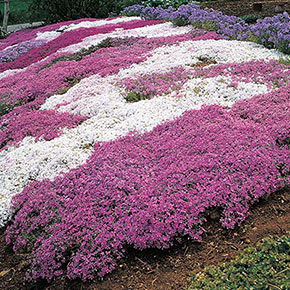 Mixed Creeping Phlox