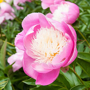 Bowl of Beauty Peony