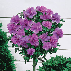 Ardens Hardy Hibiscus Standard Tree