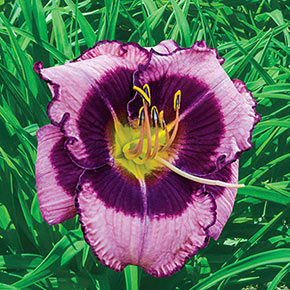 MacBeth Reblooming Daylily