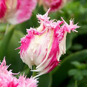 Drakensteyn Tulip