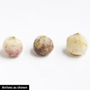 Wood Hyacinths Mixed