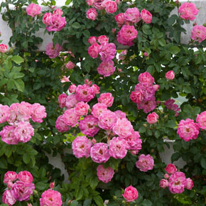 Cupid's Kisses™ Patio Climbing Rose