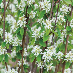 Standing Ovation™ Serviceberry