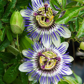 Passion flower vine at spring hill nurseries mightylinksfo