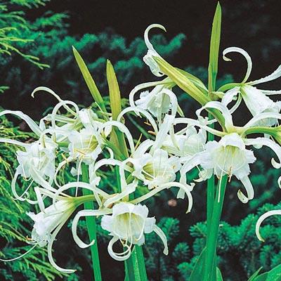 Peruvian Daffodil