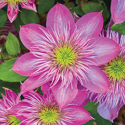 Clematis Blushing Bridesmaid
