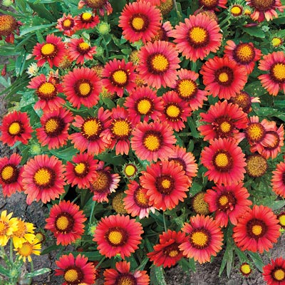 Arizona Red Shades Gaillardia