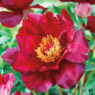 Scarlet Heaven Itoh Peony