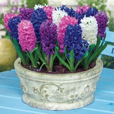 Jumbo Mixed Hyacinths