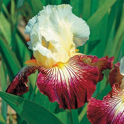 Color Strokes Bearded German Iris